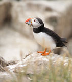 Puffin with Sandeels Royalty Free Stock Photo