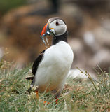 Puffin with Sandeels Royalty Free Stock Photos