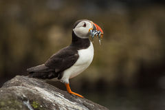 Puffin with Sandeels Royalty Free Stock Images