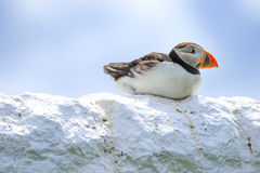 A puffin sat on a wall stock photography