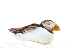 A  puffin sat on a wall Royalty Free Stock Photography