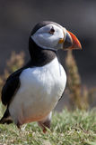 Puffin - Scotland Stock Photos