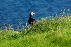 Puffin sea green grass Staffa Royalty Free Stock Photos