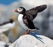 Puffin showing wings Stock Image