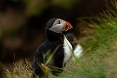 A Puffin in the rain stock image