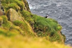 A puffin sitting at the edge of the cliff. Faroe Islands, Denmark, Europe royalty free stock images