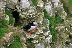 Puffin sitting on a rock. A puffin just leaving its nest hole in the cliff Stock Photos