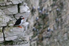 Puffin sitting on a rock. A puffin just leaving its nest hole in the cliff Royalty Free Stock Image