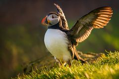 Puffin landing mykines Stock Photography