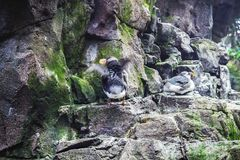 Puffin standing on a cliff royalty free stock photography