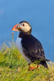Puffin standing on grassy cliff (fratercula arctica) Royalty Free Stock Photo