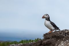 Puffin standing outside it`s burrow royalty free stock photo