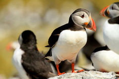 Puffin standing on a rock Royalty Free Stock Photo