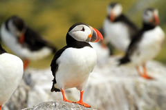 Puffin standing on a rock Stock Photos