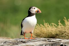Puffin standing on a rock Royalty Free Stock Image