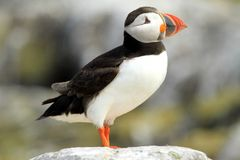 Puffin standing on a rock Stock Photo