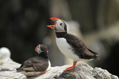 Puffin standing on a rock with open mouth. Puffin standing on a rock isolated in environment with mouth wide open Royalty Free Stock Photography