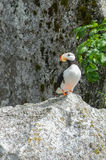 Puffin standing on white rock Stock Photos