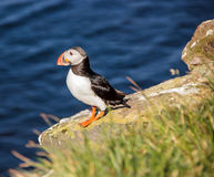 Puffin stands on the perch Royalty Free Stock Image
