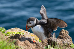Puffin stands on a rock, Iceland Stock Photography