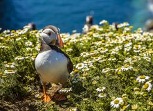 A Puffin strolls through the daisies on Skomer Island, Wales. Breeding ground for Atlantic Puffins in early summer royalty free stock photography