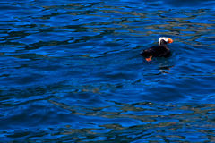 Puffin Swimming in Ocean Royalty Free Stock Photography