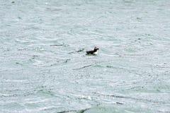 Puffin, atlantic puffin, Fratercula arctica, swimming on Atlantic Ocean, Iceland Stock Images