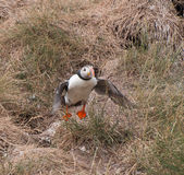 Puffin taking off Stock Photography