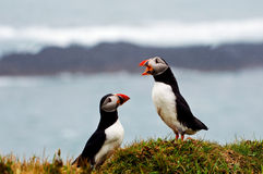 Puffin Talk Royalty Free Stock Photo