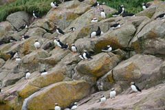 Puffin and turr. Cliff with flock of puffin and turr Stock Photography