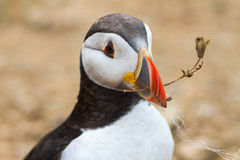 Puffin With Twig Royalty Free Stock Photos