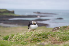 Puffin with view of Islands Stock Images