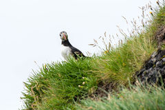 Puffin watching in the camera Royalty Free Stock Images