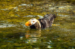 Puffin in Water Royalty Free Stock Images