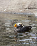 Puffin in the water. Stock Images
