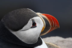 Puffin in West Fjords region of Iceland Royalty Free Stock Photography