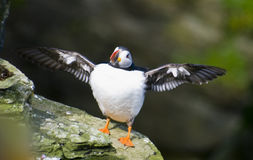 Puffin; Westray, Orkney. Puffin on the island of Westray royalty free stock photography