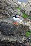 Puffin on Westray, Orkney Isles, Scotland Royalty Free Stock Photography