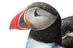 Puffin on white Royalty Free Stock Photography