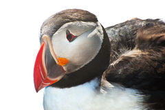 Puffin on white Stock Image