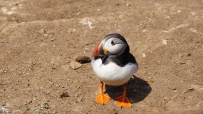 Puffin on the Wig of Skomer island Royalty Free Stock Image