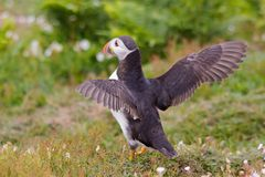 Puffin With Wings Spread Stock Photography