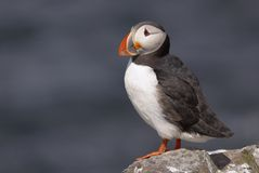 Puffin76 Photographie stock