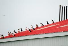Puffini atlantici Fotografia Stock Libera da Diritti