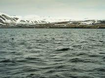 Puffini in Husavik Islanda Immagini Stock Libere da Diritti
