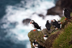Puffini su una scogliera del mare Fotografie Stock Libere da Diritti