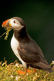 Puffino che raccoglie erba    arctica del fratercula Immagini Stock