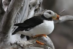 Puffino cornuto nel centro dell'Alaska Sealife Fotografia Stock Libera da Diritti