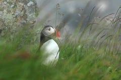 Puffino dall'isola norvegese di Runde Uccello variopinto Uccello bianco nero Puffino di volo Immagine Stock Libera da Diritti