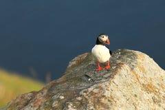 Puffino dall'isola norvegese di Runde Uccello variopinto Uccello bianco nero Puffino di volo Fotografia Stock